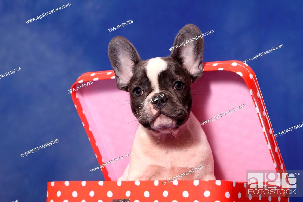 Stock Photo: French Bulldog puppy.