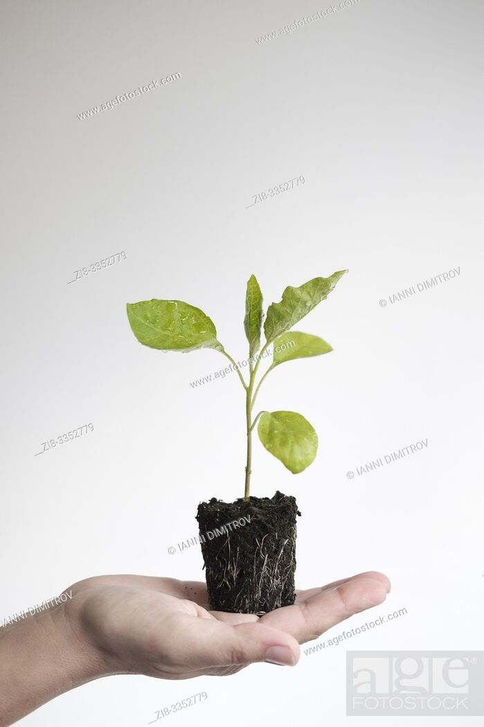 Stock Photo: Young aubergine plant with exposed root system, ready to plant- Solanum melongena.