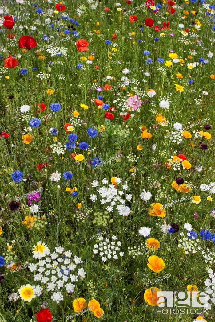 Imagen: colourful flower meadow with poppy, cornflowers snd Eschscholzia, Germany.