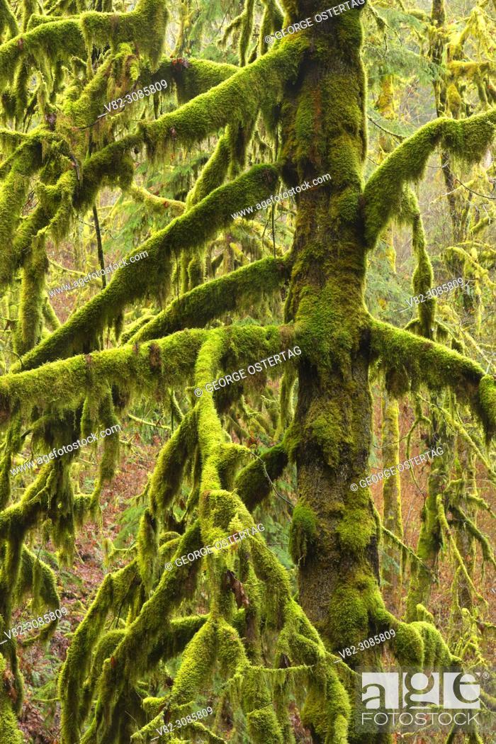 Bigleaf Maple Acer Macrophyllum In Forest Silver Falls State Park