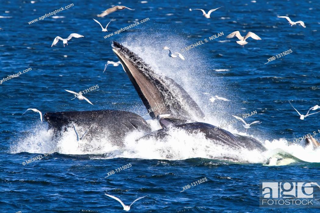 Stock Photo: Adult humpback whales Megaptera novaeangliae co-operatively 'bubble-net' feeding along the west side of Chatham Strait in Southeast Alaska.