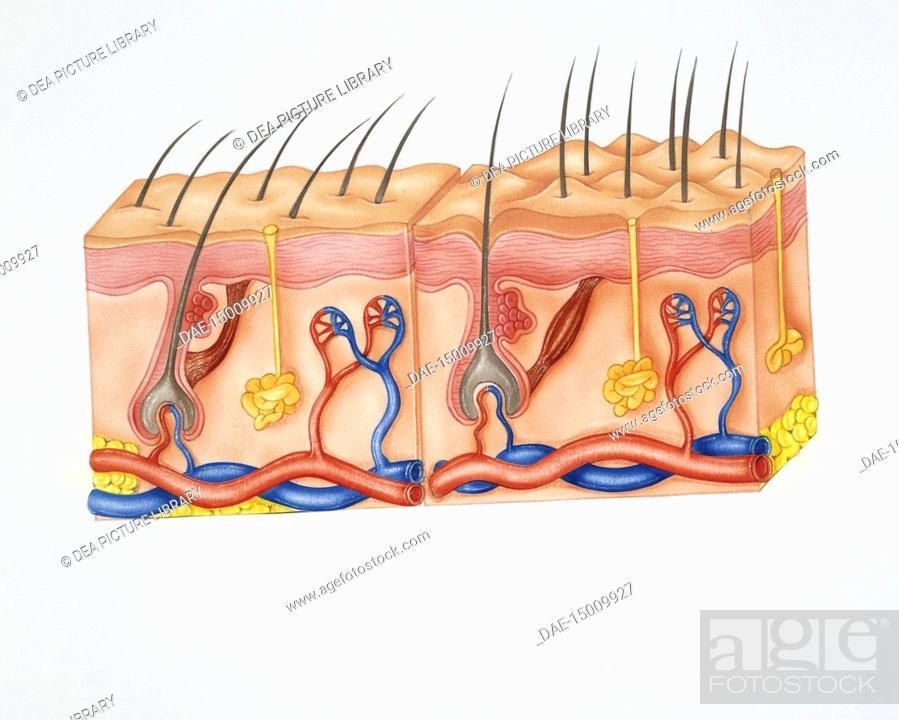 Human Anatomy Skin Hairs Sebaceous Glands Nerve Endings And