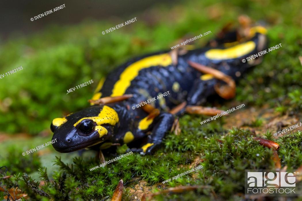 Stock Photo: Fire Salamander - adult salamander in Harz National park - Germany.