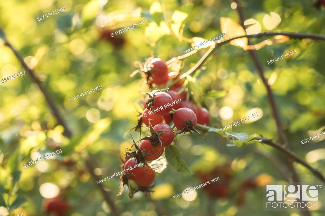 Stock Photo: Red Ripe Berries Of Rosa Canina. Rose Hips Of Dog Rose, Is A Variable Climbing, Wild Rose Species Native To Europe, Northwest Africa, And Western Asia.