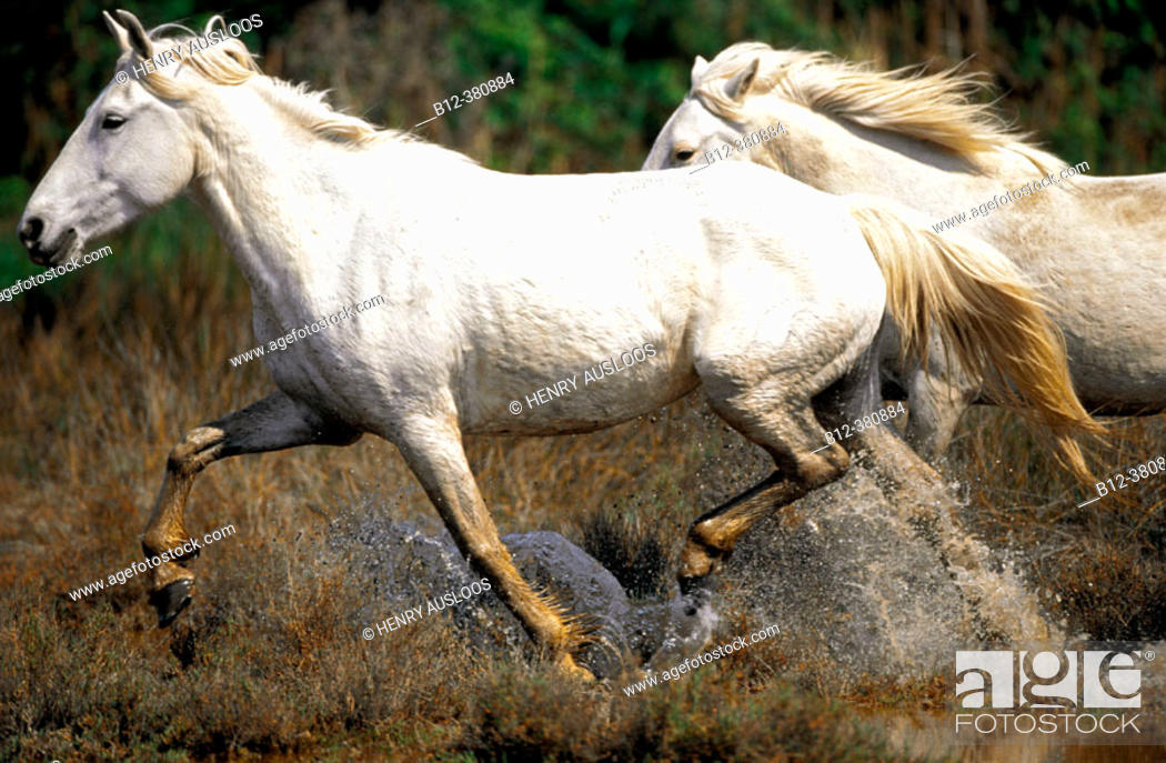 Stock Photo: Wild Horse of Camargue running. Camargue. Southern France.