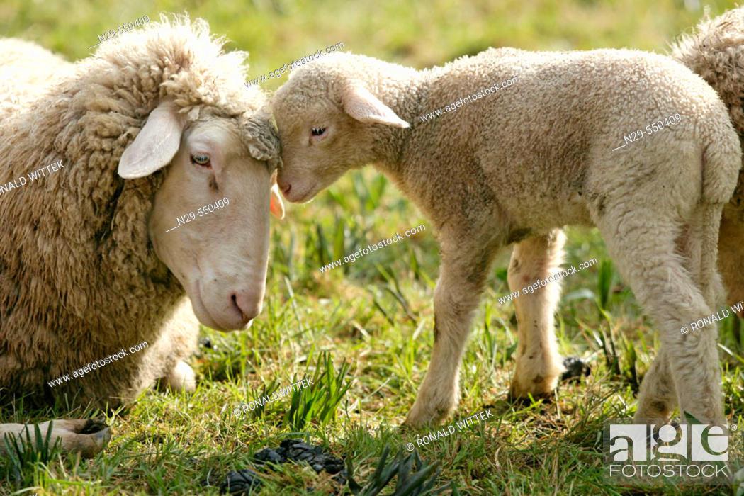 Stock Photo: Merino Sheep, lamb.