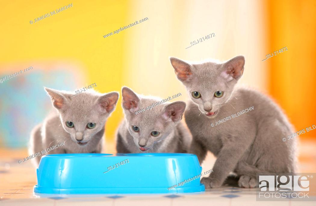 Stock Photo: Russian Blue. Three kittens taking their meal from a feeding bowl. Germany.