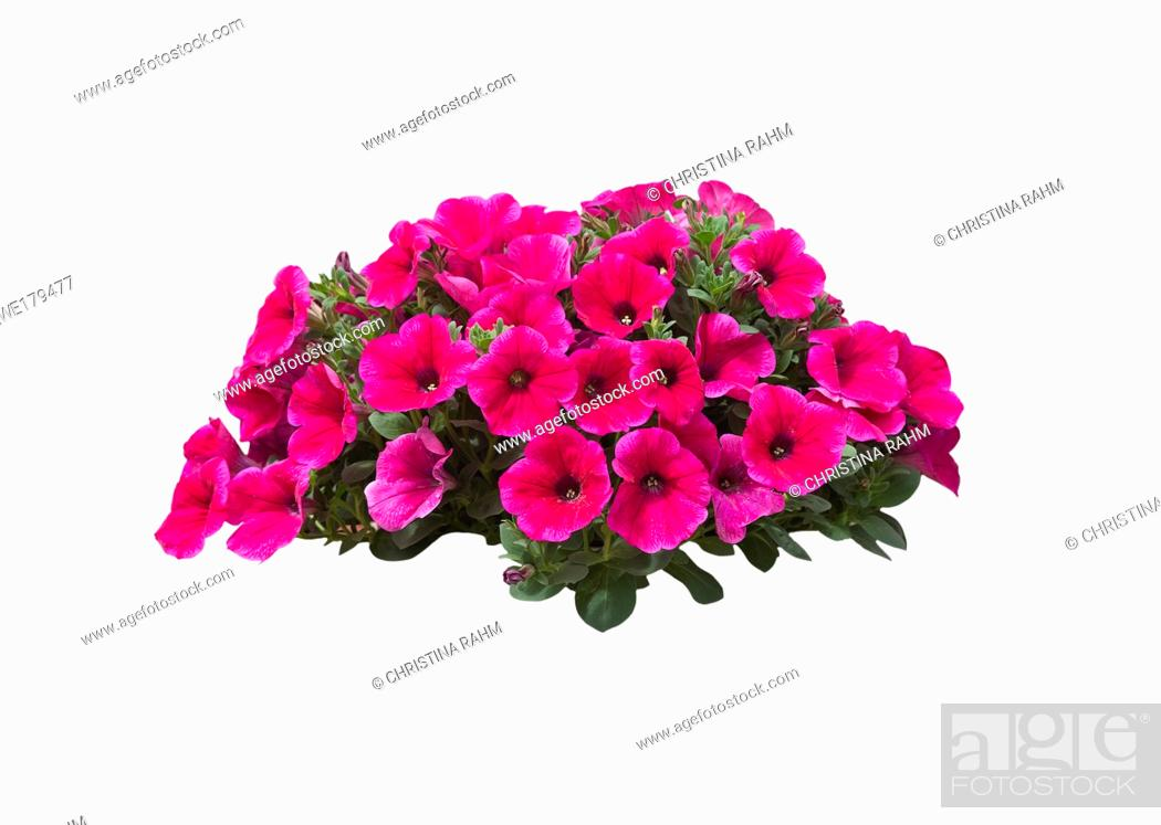 Stock Photo: Pink petunia flowers in a large heap isolated on white.