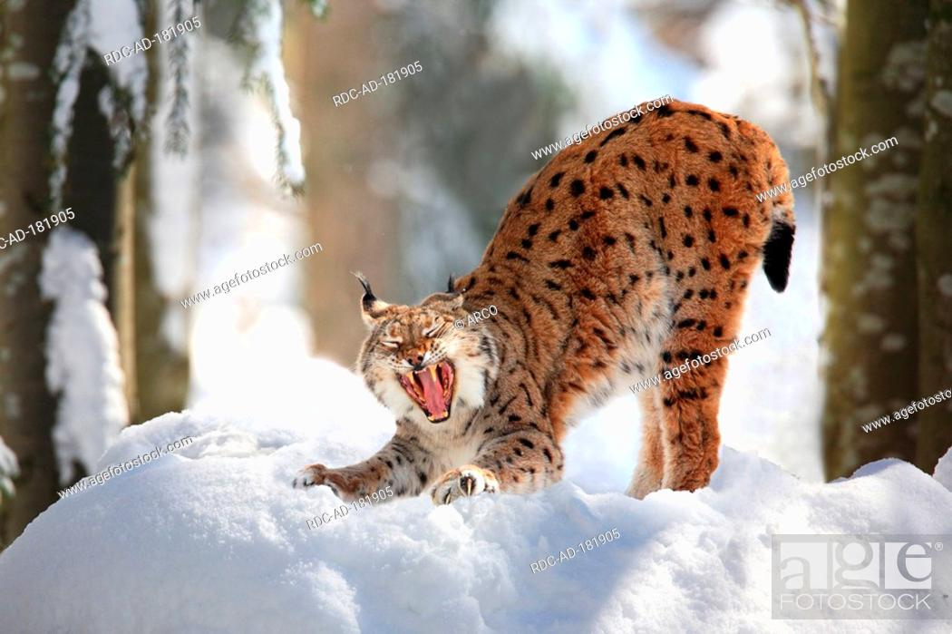 European Lynx, Lynx lynx, Stock Photo, Picture And Rights Managed