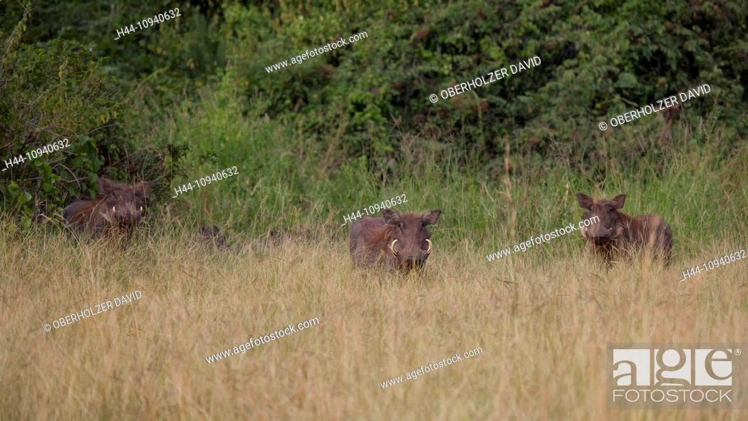 Stock Photo: Africa, Uganda, East Africa, black continent, pearl of Africa, Great Rift, nature, wilderness, warthog, pig, animal, wild animal, mammal, savanna, grass savanna.