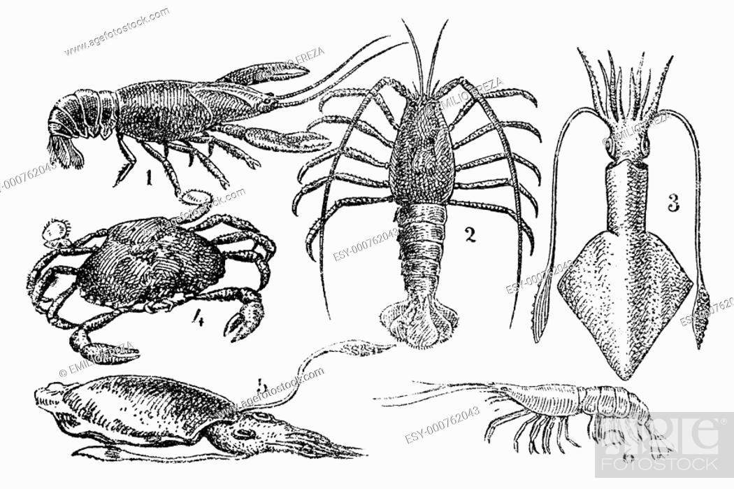 Stock Photo: Seafood, old illustration. 1, crayfish - 2, lobster - 3, squid - 4, crab - 5, sepia - 6 shrimp.