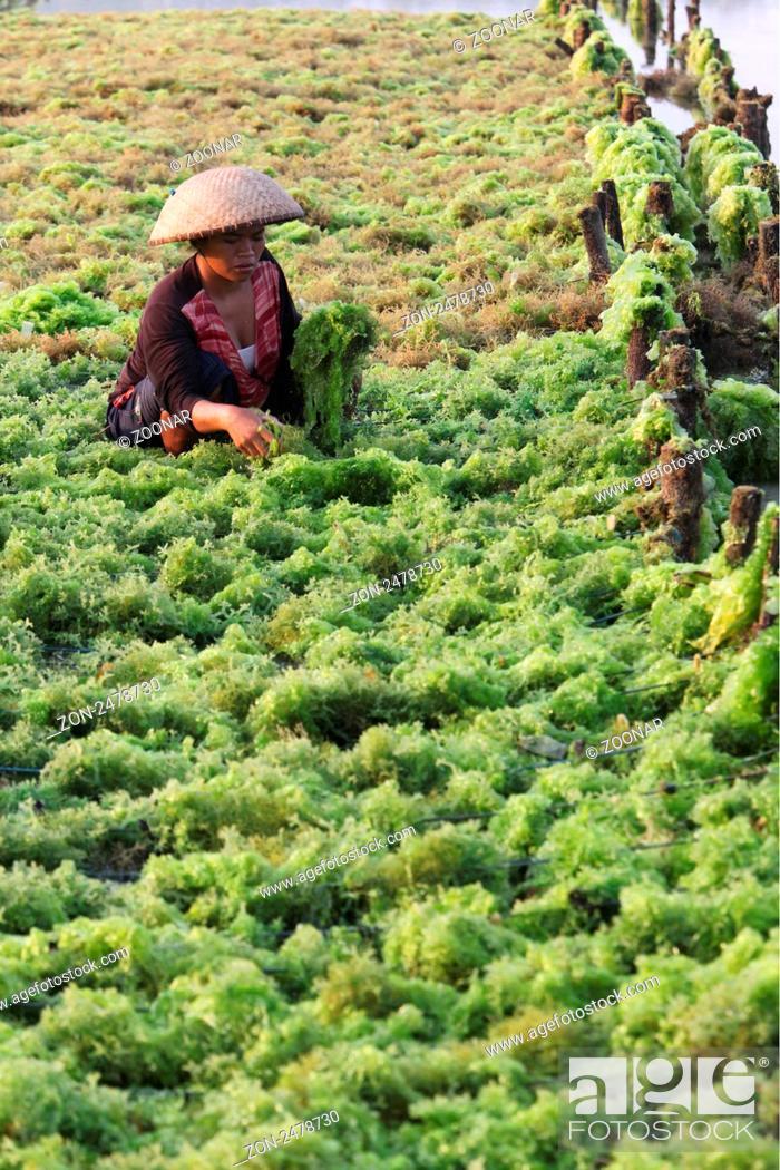 Stock Photo: Die Landschaft in den Seegras Plantagen von Jungutbatu auf der Insel Lembongan suedoestlich von Bali im Indischen Ozean.