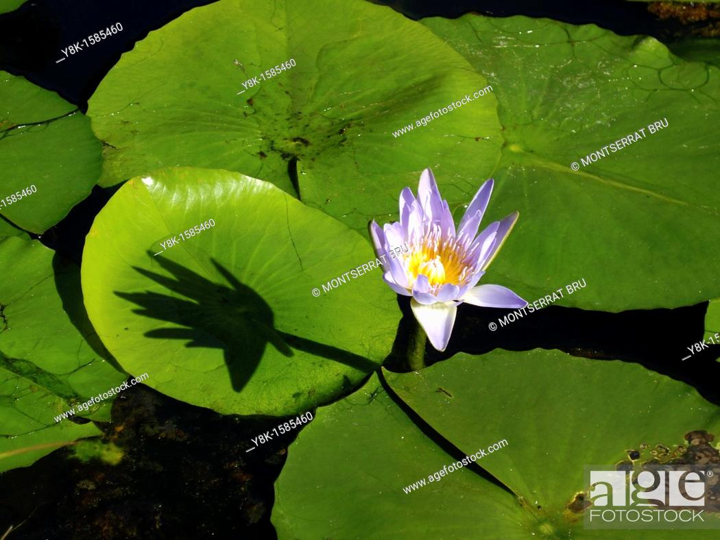 Stock Photo: Water lily and leaves.
