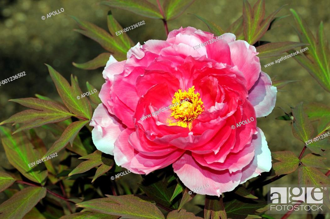 Stock Photo: Peony flower, Paeonia, Paeoniaceae.
