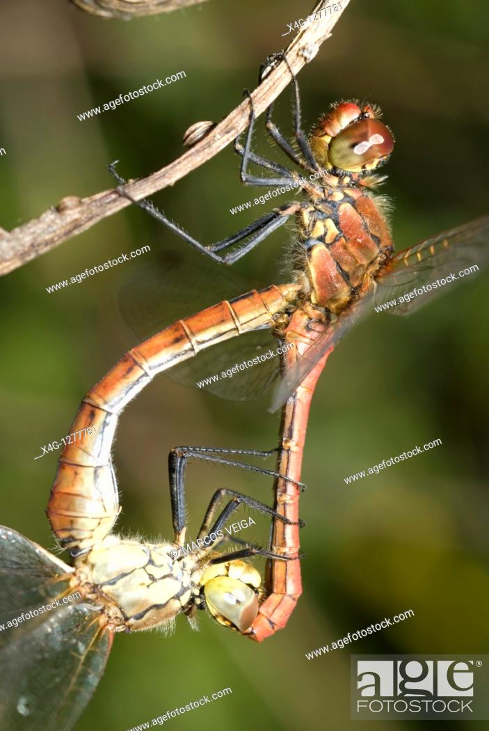 Stock Photo: Ruddy darter mating Sympetrum sanguineum.