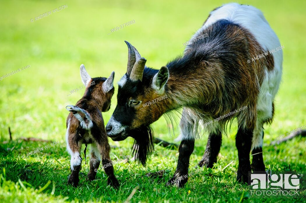 Stock Photo: Pygmy Goat kid with mum on a smallholding.