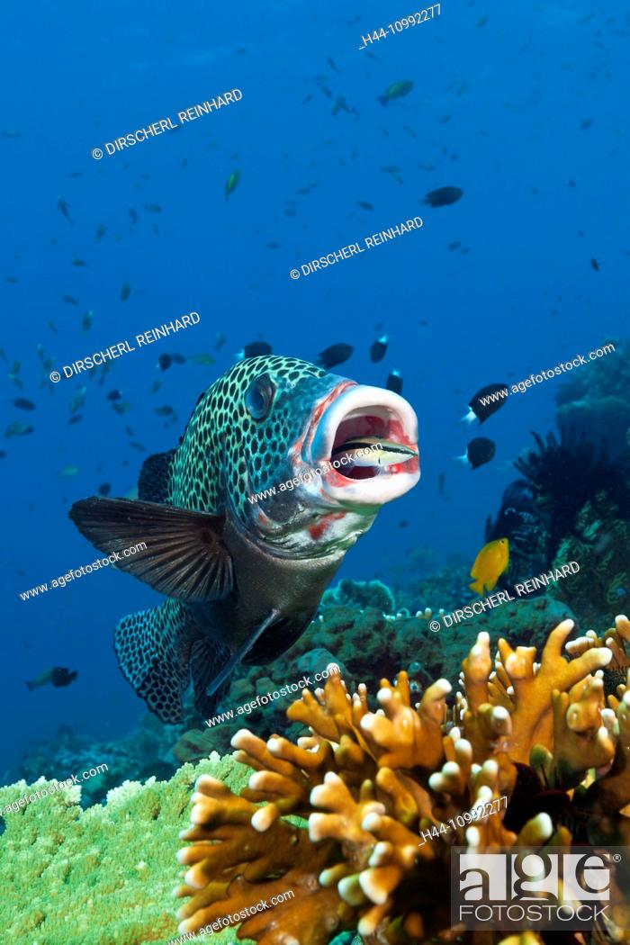 Stock Photo: Harlequin Sweetlips cleaned by Cleaner Wrasse, Plectorhinchus chaetodonoides, Komodo National Park, Indonesia.