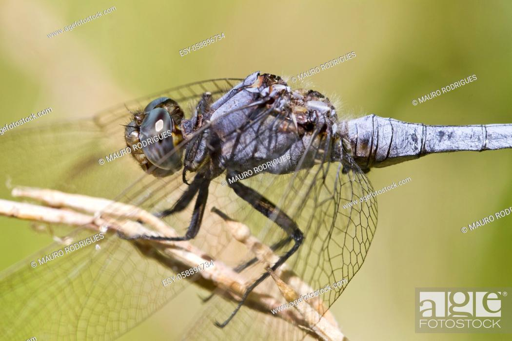 Photo de stock: Close up view of a Epaulet Skimmer (Orthetrum chrysostigma) dragonfly insect.