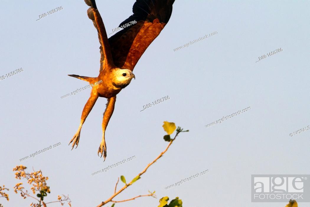 Stock Photo: Brazil, Mato Grosso, Pantanal area, Black-collared Hawk Busarellus nigricollis.