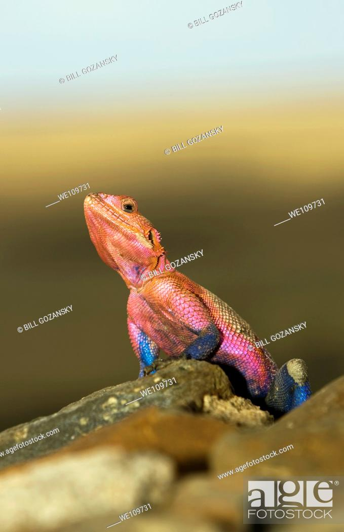 Stock Photo: Agama Lizard - Masai Mara National Reserve, Kenya.