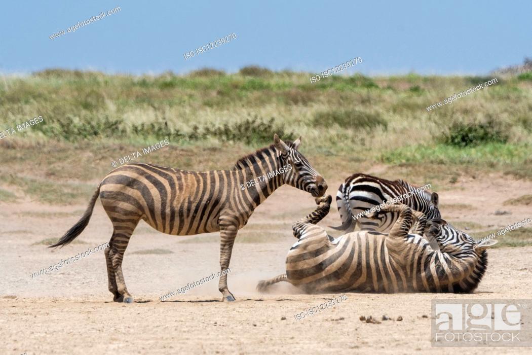 Stock Photo: Plains zebras (Equus quagga) playing, Seronera, Serengeti National Park, Tanzania.