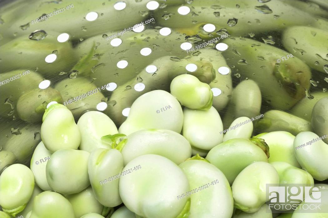Stock Photo: Broad Bean Vicia faba freshly harvested, picked home grown organic beans in colander.