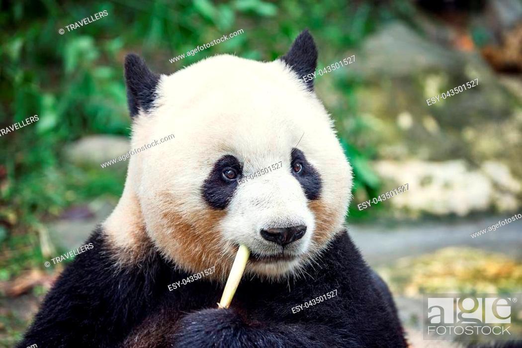 Stock Photo: Giant Panda eats bamboo in the park.