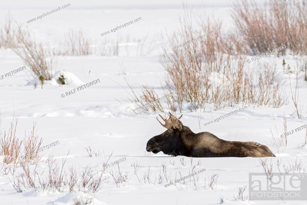 Stock Photo: Moose ( Alces alces ), young bull, resting, lying, ruminating in snow, winter, Yellowstone NP, USA.