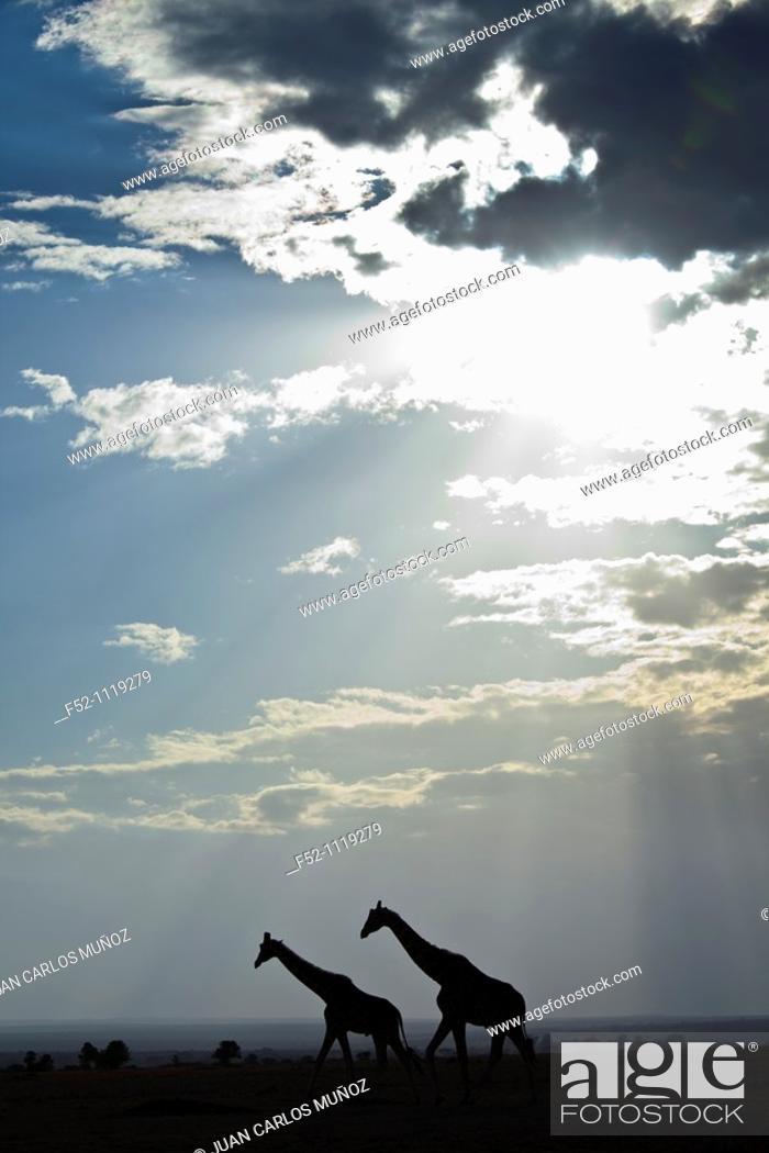 Stock Photo: Reticulated Giraffe (Giraffa camelopardalis reticulata), Kenya.