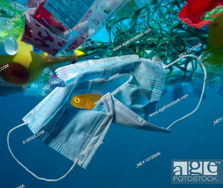 Stock Photo: Surgical mask drifting in the ocean along with other plastic waste. Note Yellow Pygmy Goby, Lubricogobius exiguus, (about 2cm size) hiding inside the mask folds.