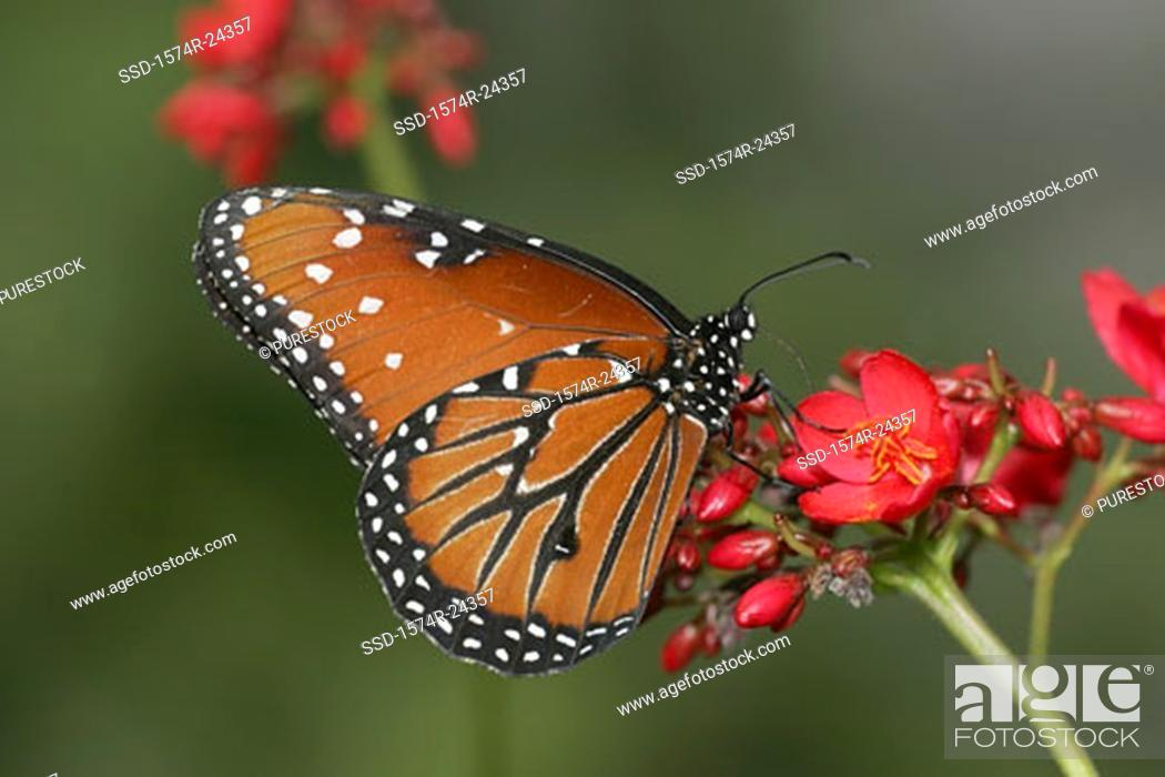 Stock Photo: Close-up of a Queen Butterfly pollinating a flower Danaus gilippus.