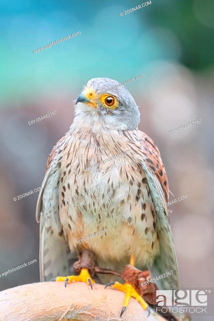 Stock Photo: Portrait of Common Kestrel (Falco Tinnunculus).