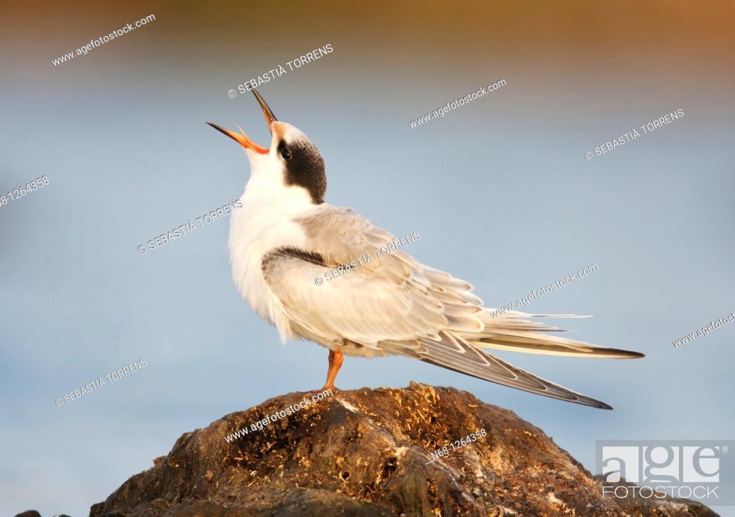 Stock Photo: Young Common Tern Sterna hirundo at S'Albufera, Majorca, Spain.