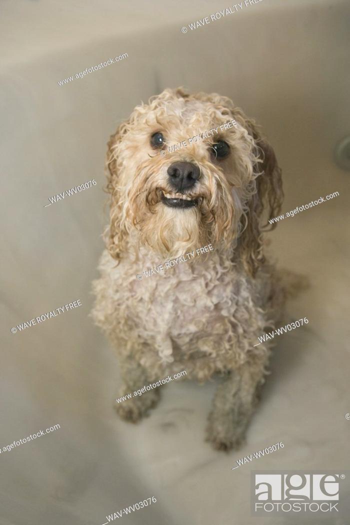 wet white mixed breed dog in bathtub, canada, alberta, stock photo