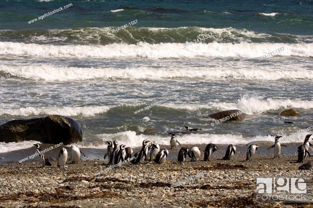 Stock Photo: Magellanic penguin colony, Seno Otway, Patagonia, Chile, South America.