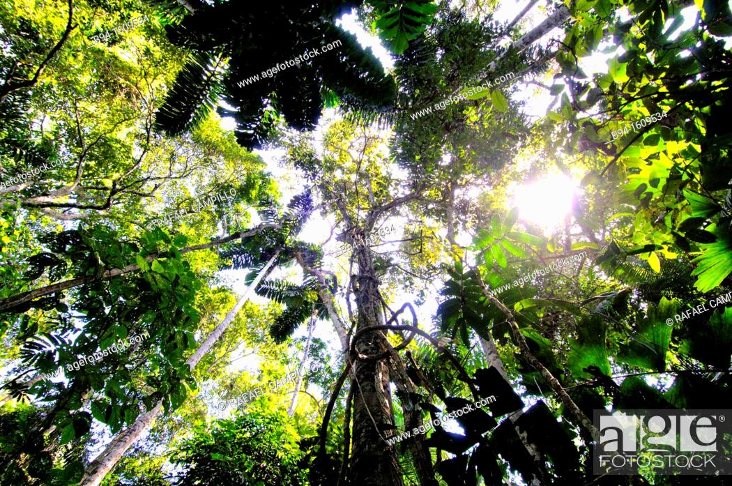 Stock Photo: Forest, Madidi National Park in the upper Amazon river basin in Bolivia.