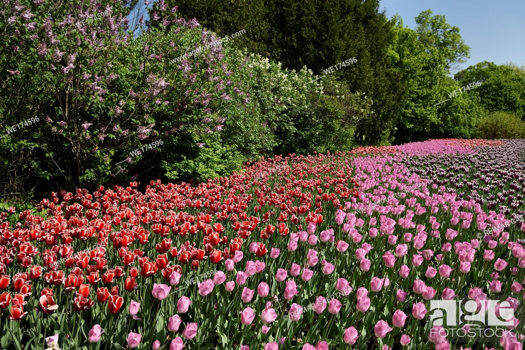 Stock Photo: Pink Rosalie with red Kelly and purple Synaeda blue tulip flowers and lilacs at Commissioners Park Canadian Tulip Festival Ottawa.