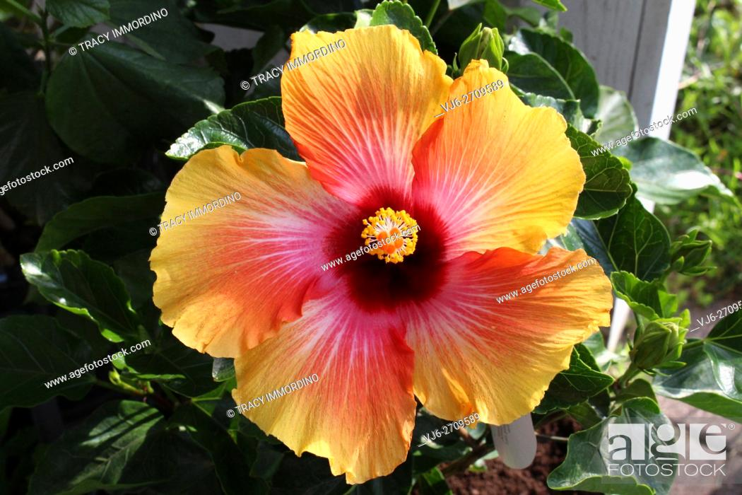 Stock Photo: Close up of a Misty Sunrise Hibiscus in full bloom.
