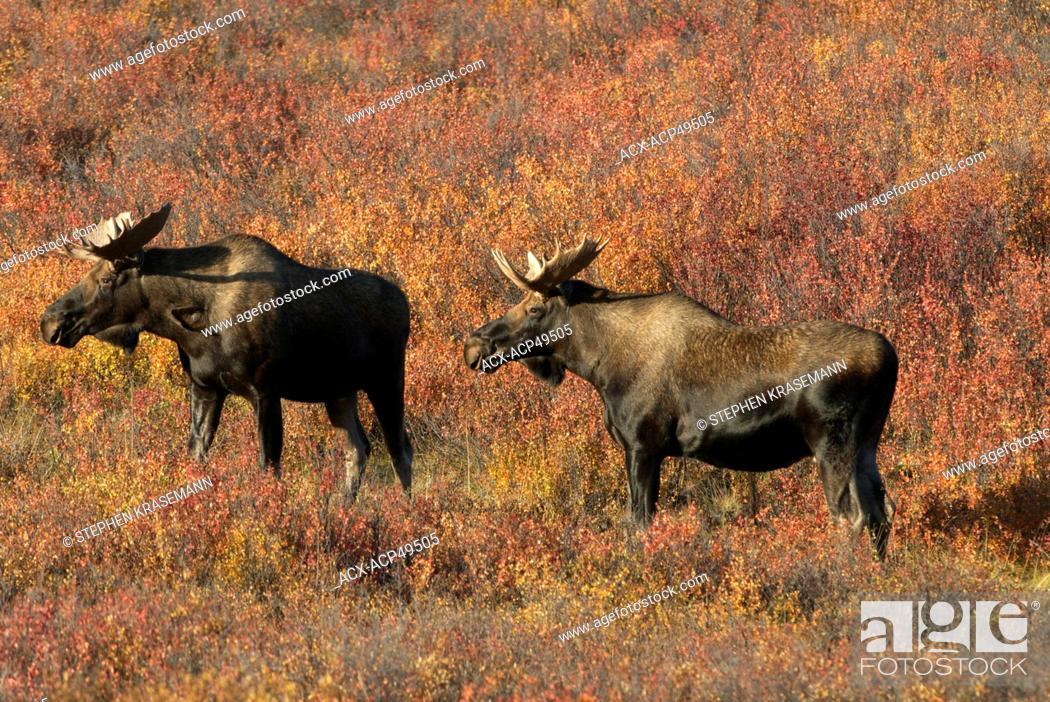 Stock Photo: Bull Moose Alces alces Denali National Park, Alaska, USA.