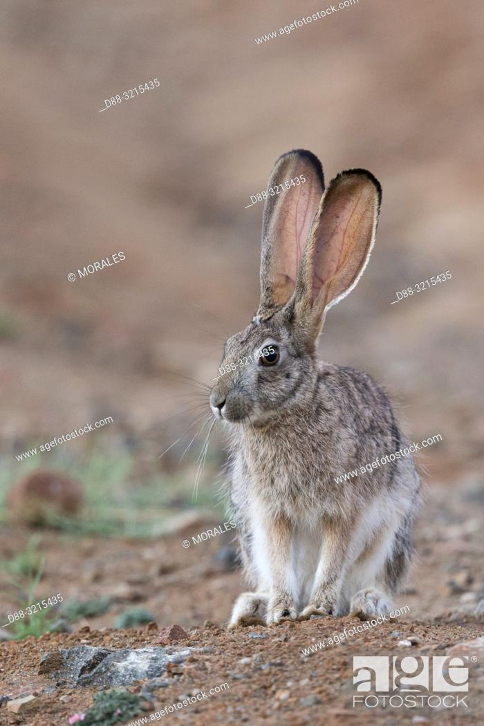 Stock Photo: South Africa, Private reserve, Scrub hare (Lepus saxatilis).
