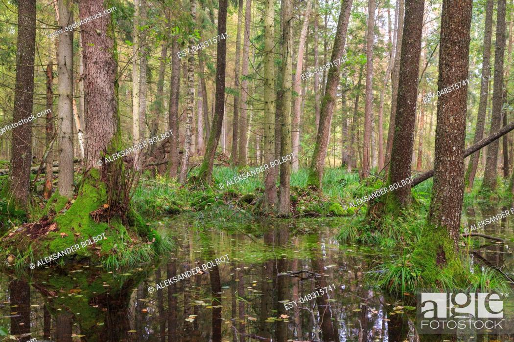 Stock Photo: Old alder tree and water around in fall forest with a lot decline wood, Bialowieza Forest, Poland, Europe.