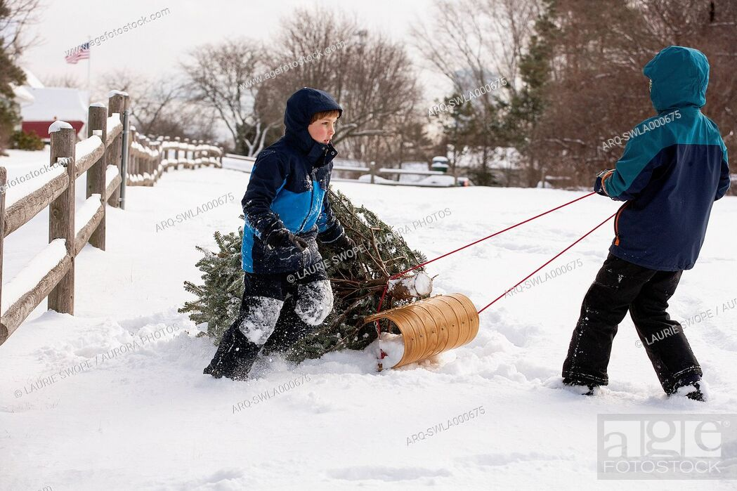 Imagen: Ten and eight-year old brothers pull a freshly cut Christmas tree from the woods.