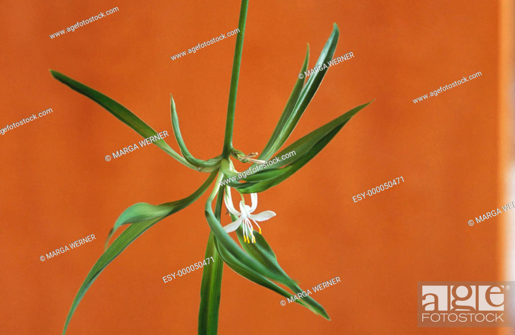 Stock Photo: Spider Plant (Chlorophytum sp.).