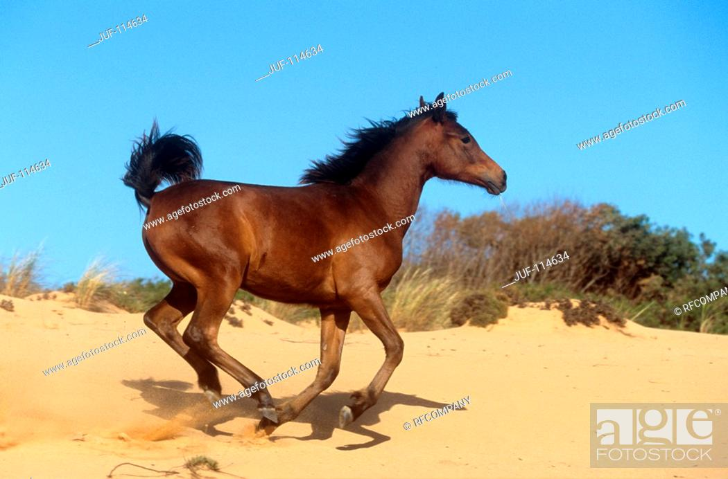 Stock Photo: young Arabian horse - galloping in sand.