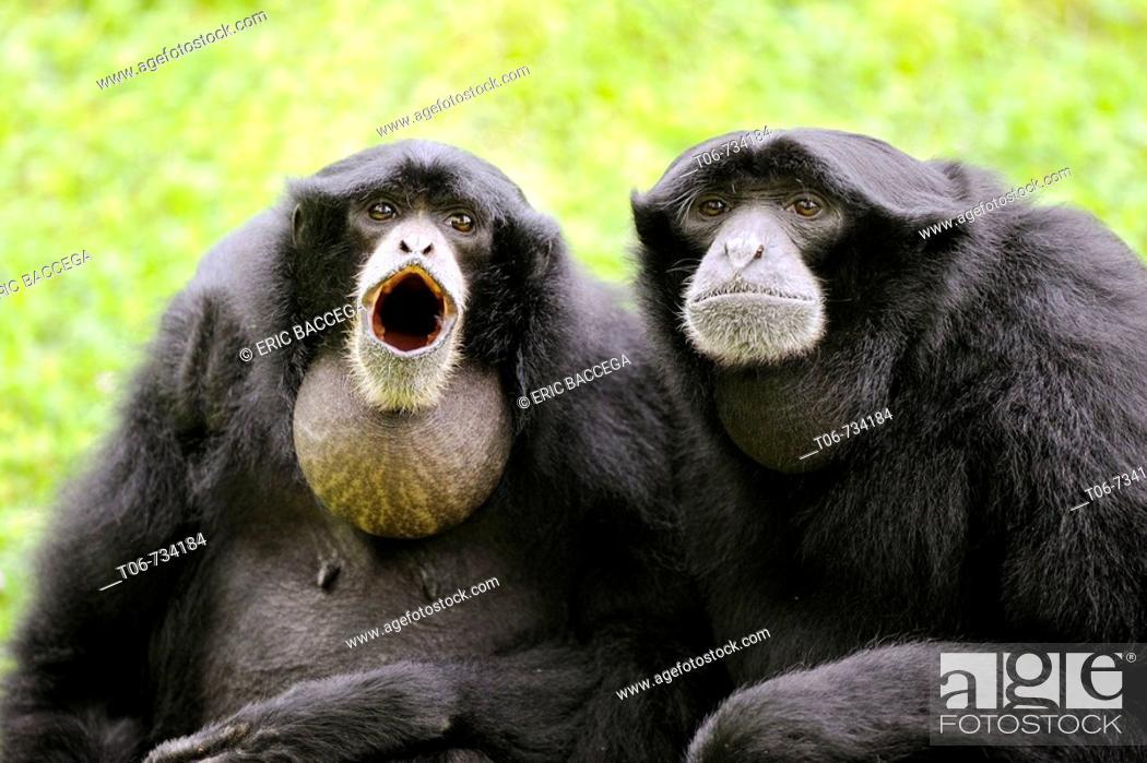 Stock Photo: Couple of Siamang gibbon vocalising (Hylobates syndactylus)  captive.