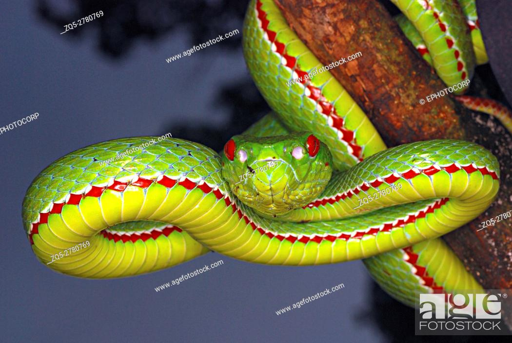 Stock Photo: Pope's Pit Viper, Trimeresurus popeiorum, is generally encountered at night above an elevation of 800 metres. A venomous pit viper, Khellong, Arunachal Pradesh.