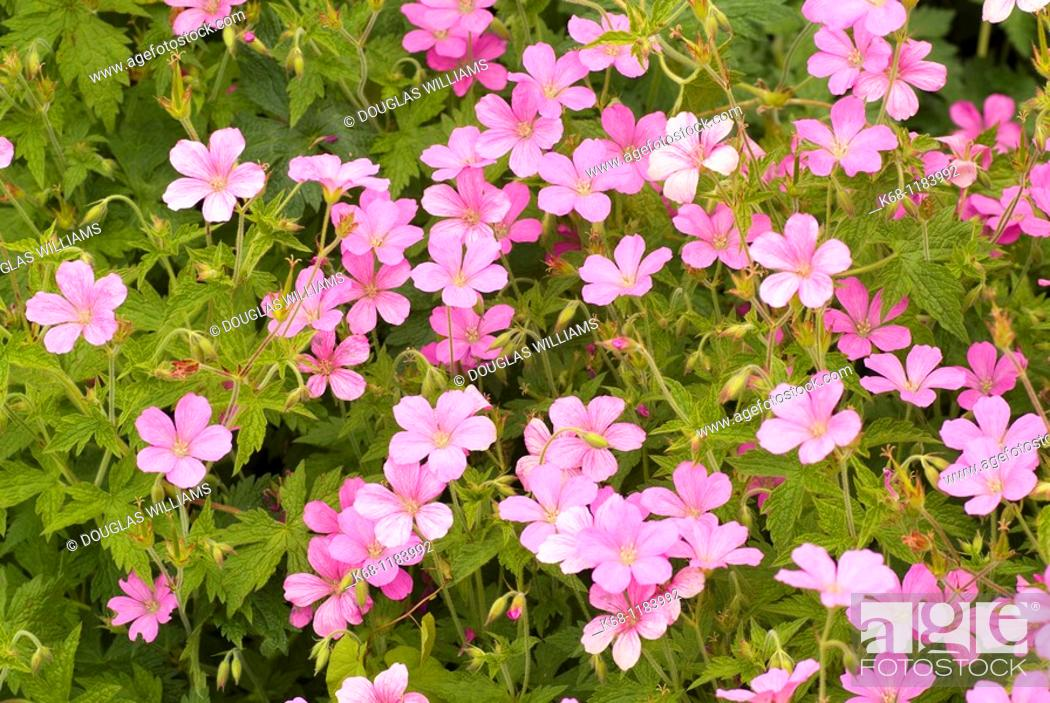 Stock Photo: Pink flowers in a garden.