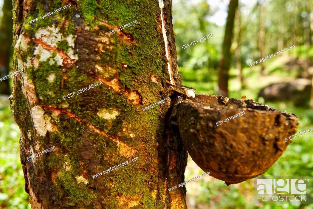 Stock Photo: Rubber tree.