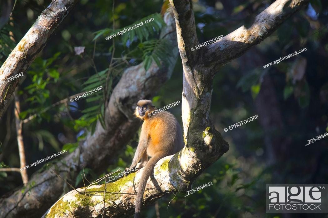 Stock Photo: Capped Langur, Trachypithecus pileatus, Gibbon Wildlife Sanctuary, Assam, India.