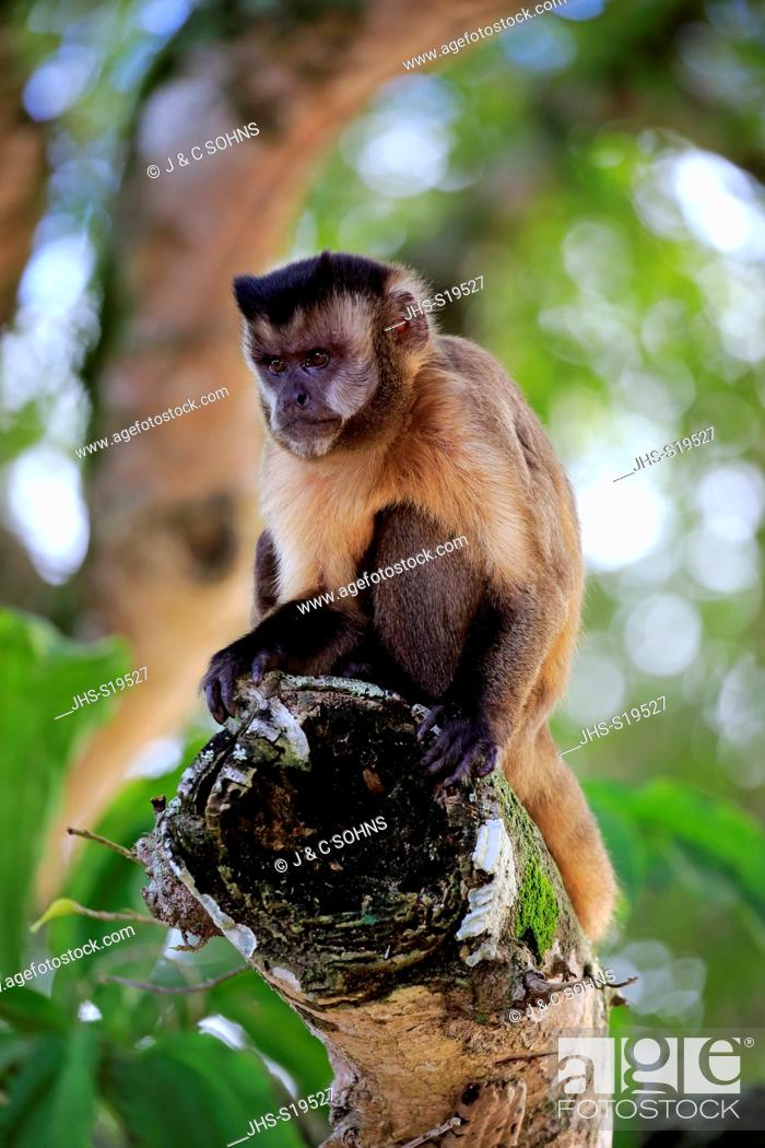 Stock Photo: Brown Capuchin, Tufted Capuchin, Black-capped Capuchin, (Cebus apella), adult on tree, Pantanal, Mato Grosso, Brazil, South America.